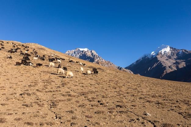Herde von ziegen, die im himalaja weiden lassen.