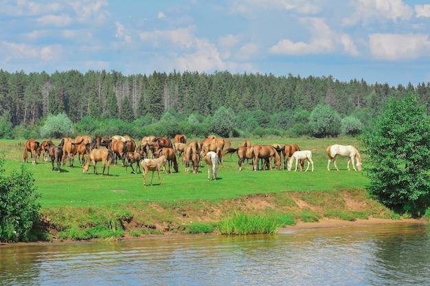 Herde weidender pferde, weidende pferde auf der wiese