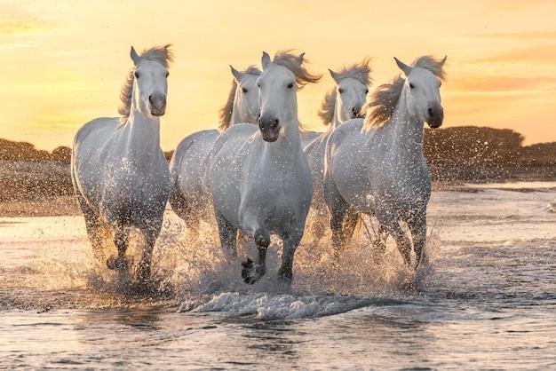 Herde weißer pferde, die durch das wasser laufen. bild eingelassene camargue, frankreich.