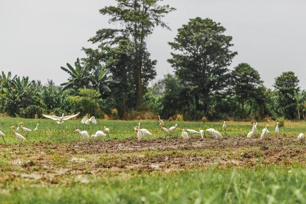 Herde weißer reiher auf einem frisch gepflügten feld auf der suche nach würmern, käfern und erdfröschen.