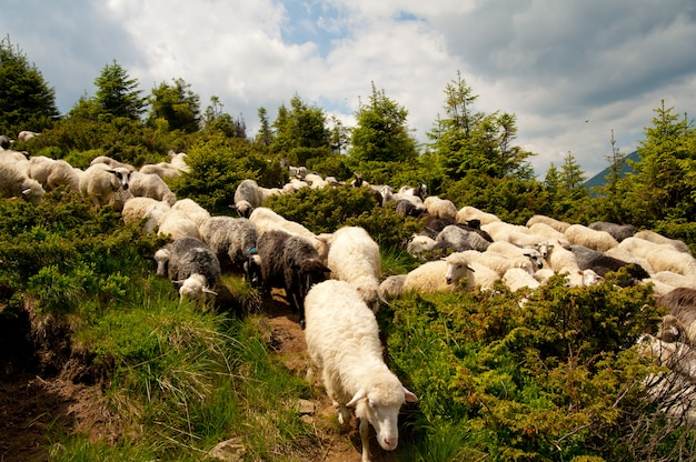 Herde weißer schafe