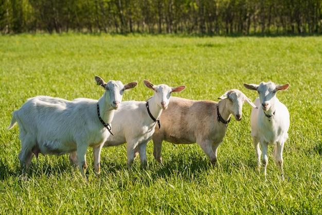 Herde weißer ziegen in grüner graswiese im sommer