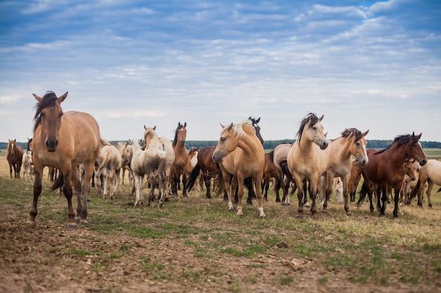 Herde wilder pferde laufen über das feld