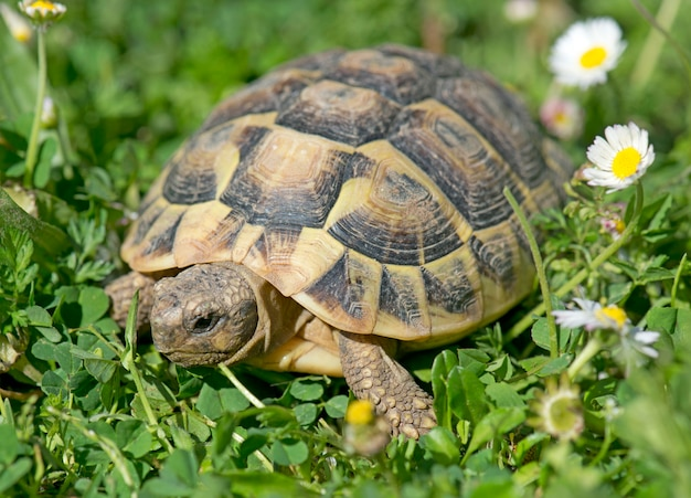 Hermanns schildkröte im gras
