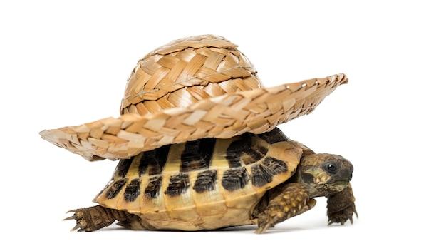 Hermanns schildkröte, isoliert auf weiß on