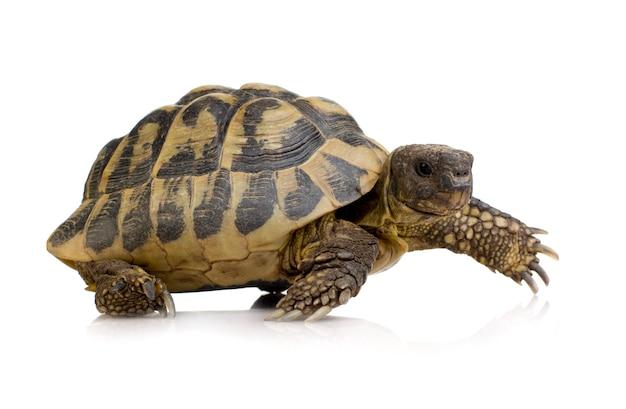 Hermans schildkröte vor einem weißen hintergrund