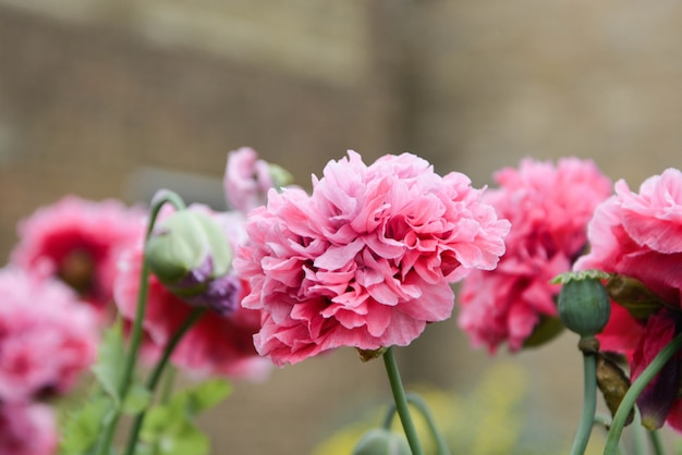 Herrliche rosa flaumige pfingstrosenblumen, die im garten, sonniger sommertag blühen.