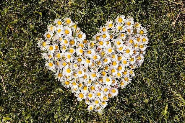 Herz von gänseblümchenblumen