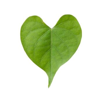 Herzform des grünen blattes isoliert auf weißem hintergrund