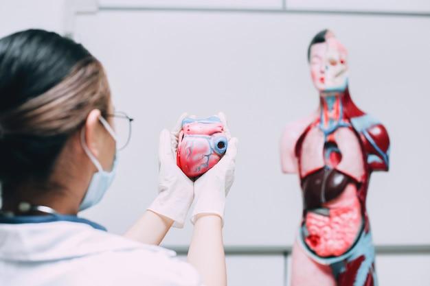 Herzmodell in einer arzthand mit dummy der menschlichen inneren körperorgane