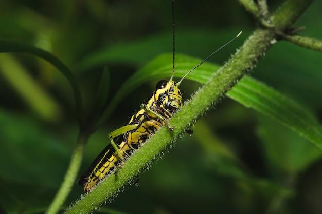 Heuschrecke auf einem gelben blatt in übereinstimmung mit natur