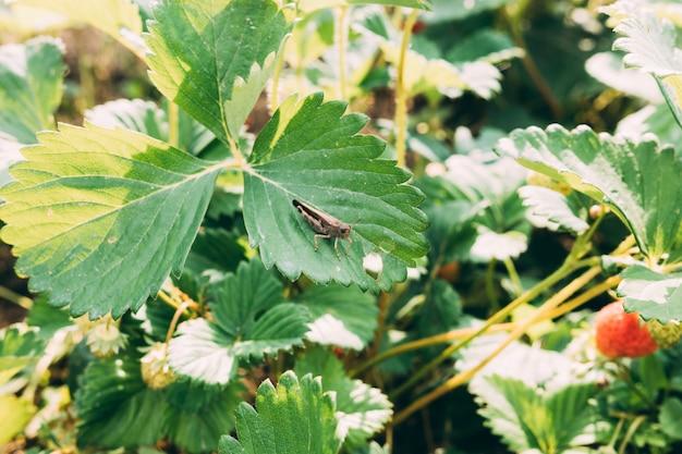 Heuschrecke auf erdbeerpflanze