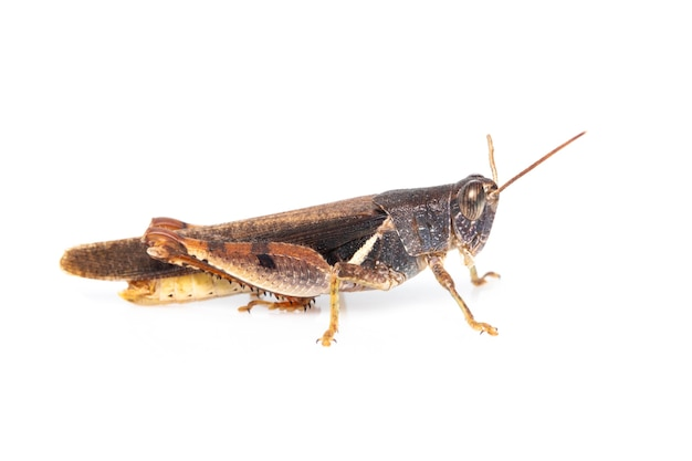 Heuschrecke mit weißen bändern (stenocatantops splendens) isoliert. insekt. braune heuschrecke