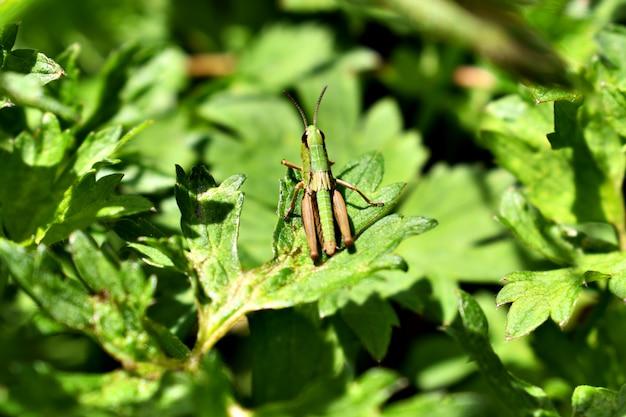 Heuschrecken - heuschrecken