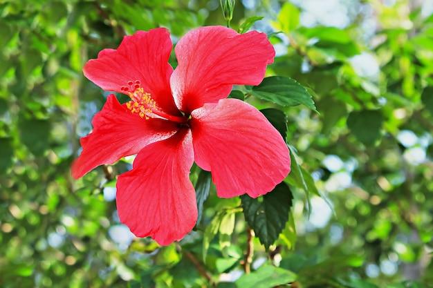 Hibiscusblume im garten