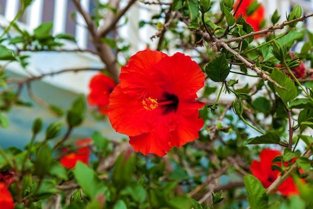 Hibiskusblüten auf dem busch im garten. nahaufnahme der blume auf dem hintergrund der grünen blätter.