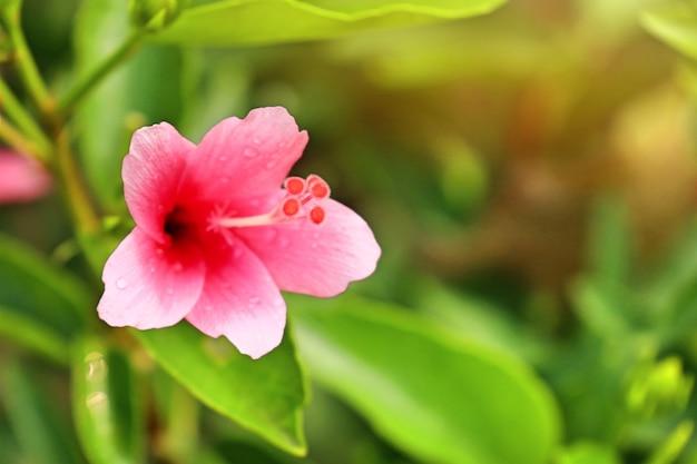 Hibiskusblüten in tropischen