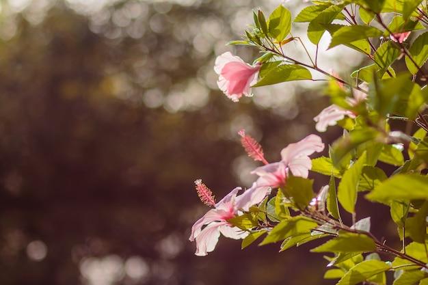Hibiskusblüten. polynesisches symbol. rosa blume auf der niederlassung, bokeh im hintergrund.