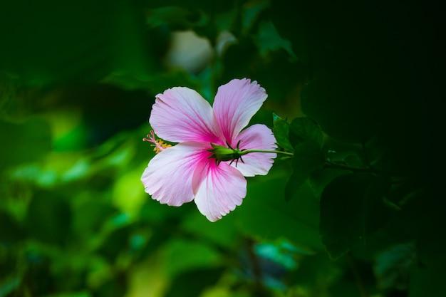 Hibiskusblütenknospe in voller blüte im garten an einem sonnigen tag
