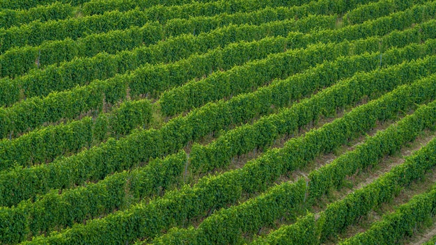 High angle shot eines feldes neu gepflanzter grüner bäume - perfekt für einen artikel über die weinherstellung