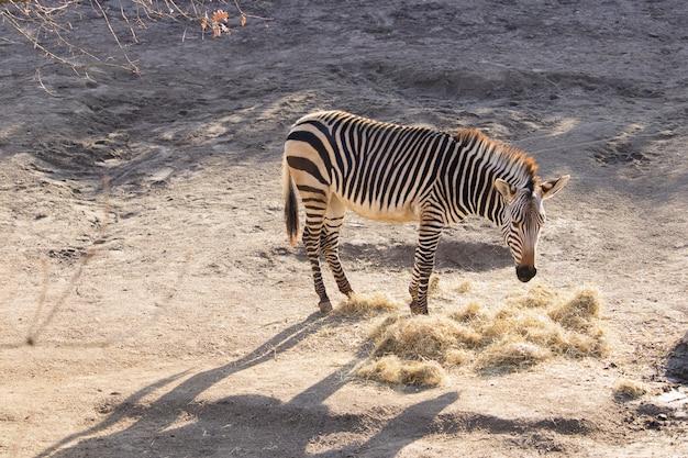 High angle shot eines zebras, das heu in einem zoo isst