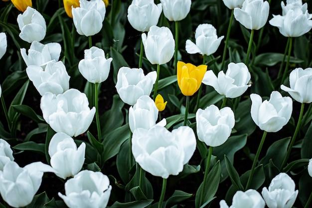 High angle shot von weißen tulpen, die in einem feld blühen