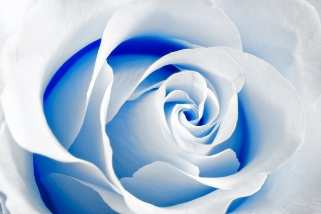 High key rose macro blau