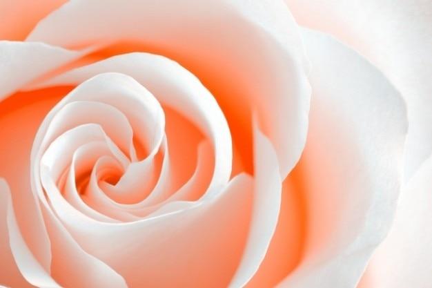 High key rose macro pfirsich orange