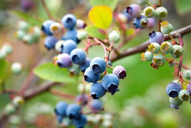 Highbush blaubeerstrauch mit reifen blauen und unreifen grünen beeren, stock-foto