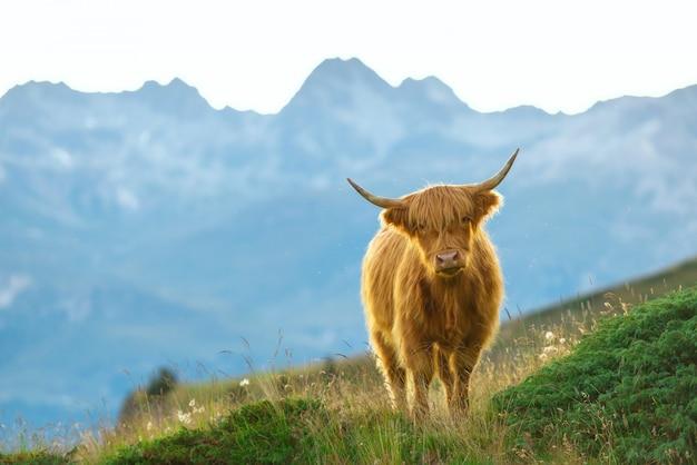 Highlander - schottische kuh auf den schweizer alpen