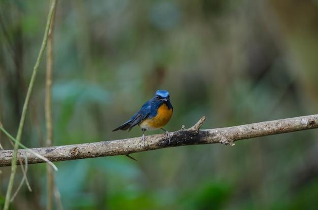Hill blue flycatcher auf einem ast