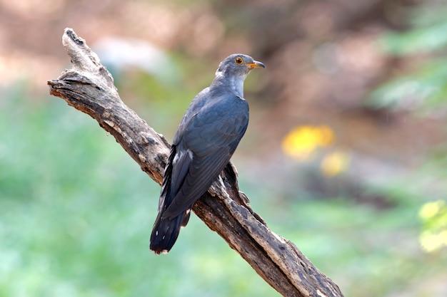 Himalajakuckuck-cuculus-saturatus schöne männliche vögel von thailand