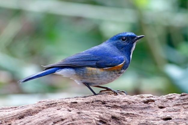 Himalaya bluetail tarsiger rufilatus schöne männliche vögel von thailand
