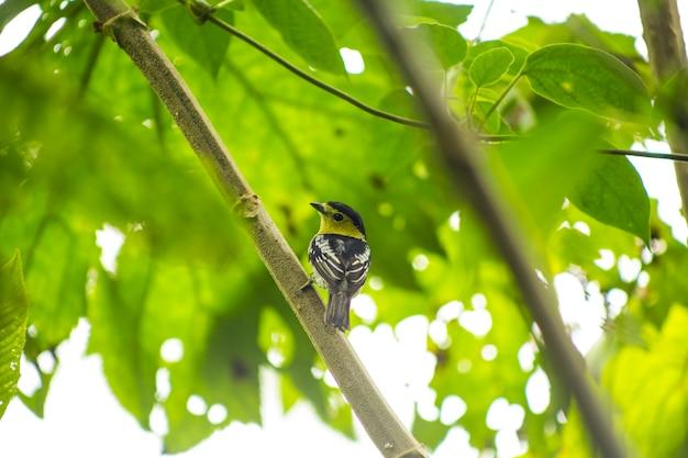 Hintere ansicht des singvogels gehockt auf baumast im regenwald