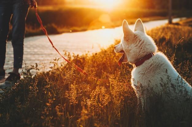Hintere ansicht des weißen hundes sitzend auf hohem gras mit weiblichem erntegut der ernte, der auf pflaster nahe im sonnenuntergangspark auf hinterleuchtet steht