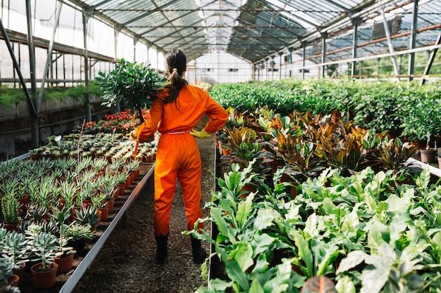 Hintere ansicht eines weiblichen gärtners, der topfpflanze im gewächshaus hält