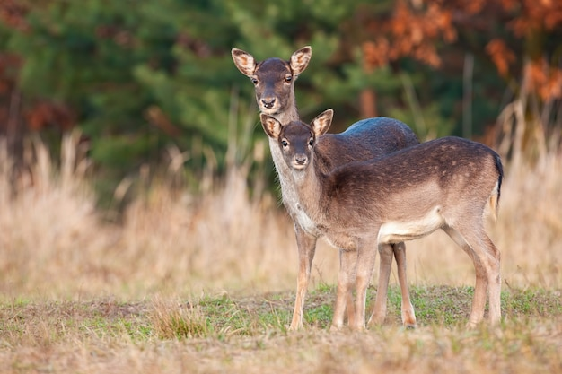 Hintere mutter mit jungem kitz, das trockenes grasland im herbst sucht