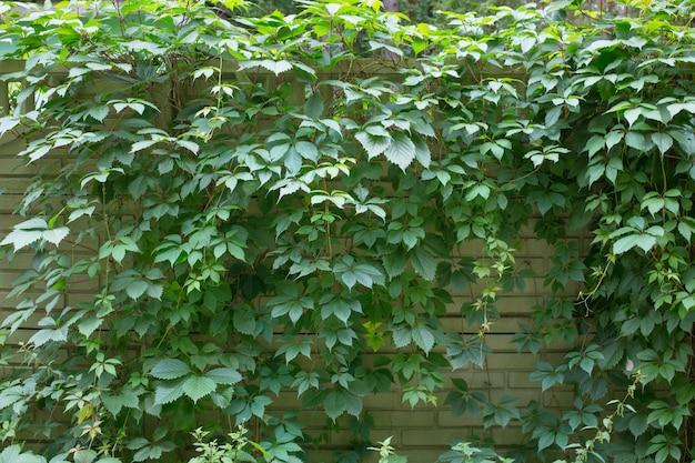 Hintergrund aus grünem zaun, umrankt mit wilden fünfblättrigen trauben