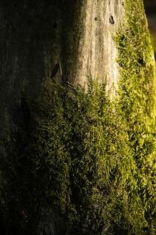 Hintergrund, baum, hainbuchenbaumrinde und moos. nahaufnahme. schönes künstlerisches licht