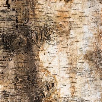 Hintergrund der birkenrinde mit einem knoten