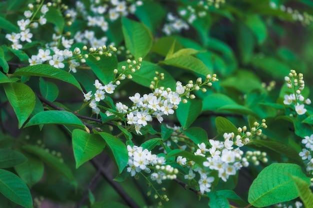 Hintergrund der blühenden vogelkirsche und der grünen blätter im frühjahr