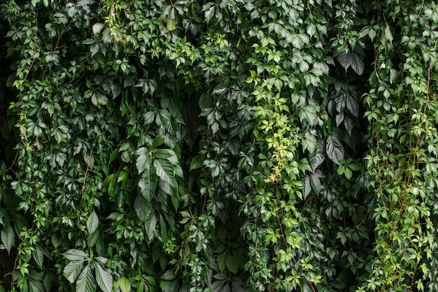 Hintergrund der efeupflanze der traubenkriechpflanze, die an einer wand wächst