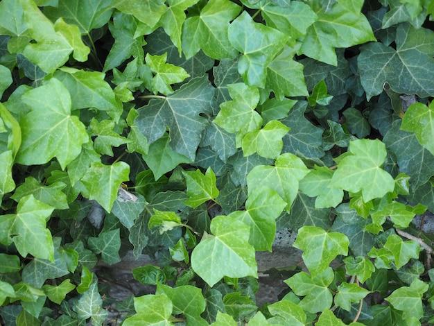 Hintergrund der efeupflanze