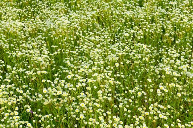 Hintergrund der gänseblümchenwiese