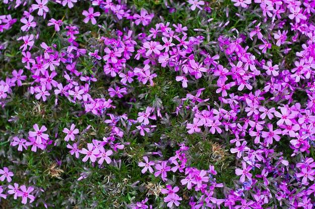 Hintergrund der lila blumen nahaufnahme. natürlicher natürlicher blumenhintergrund, im frühling des jahres. hausgartenarbeit