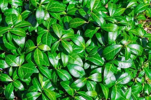 Hintergrund der natürlichen blätter der grünen pflanze. naturfrühlingskonzept