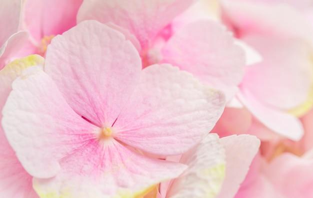 Hintergrund der rosa blumenhortensie oder hortensie in blüte