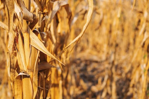 Hintergrund der trockenen maispflanze und trockene maisfelder