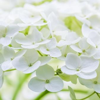 Hintergrund der weißen blumenhortensie oder hortensie in blüte