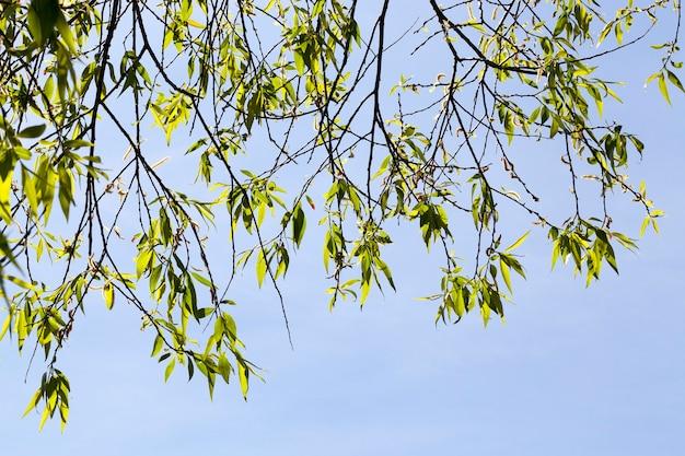 Hintergrund des blauen himmels und der äste mit jungen frühlingsblättern und -blumen